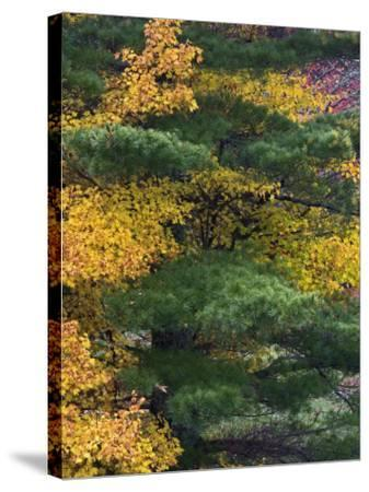 Comparison of Evergreen Conifer Needles with the Fall Leaves of Deciduous Trees, Eastern USA-Adam Jones-Stretched Canvas Print
