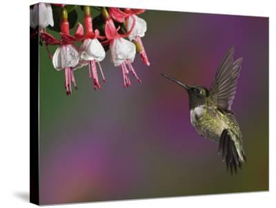 Male Ruby-Throated Hummingbird Hovering Near Flowers (Archilochus Colubris), Eastern USA-Adam Jones-Stretched Canvas Print