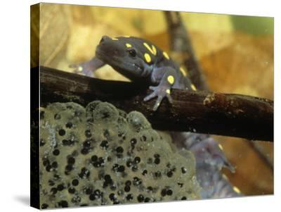 Spotted Salamander in a Vernal Pool with Eggs, Ambystoma Maculatum, . Northeastern USA-Gustav W. Verderber-Stretched Canvas Print