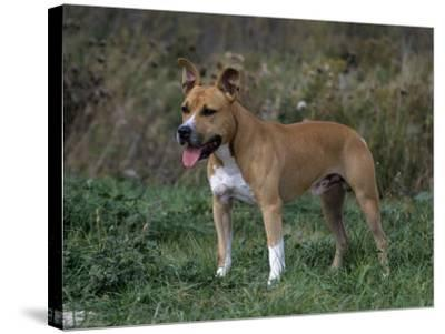 American Staffordshire Terrier Variety of Domestic Dog-Cheryl Ertelt-Stretched Canvas Print