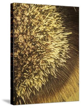 Close-Up of Porcupine Quills and Hairs, Erethizon Dorsatum, North America-Joe McDonald-Stretched Canvas Print