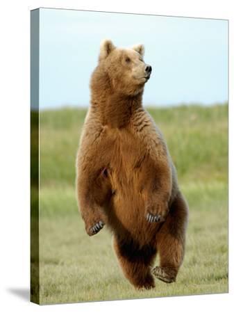 Brown Bear (Ursus Arctos)-Tom Walker-Stretched Canvas Print