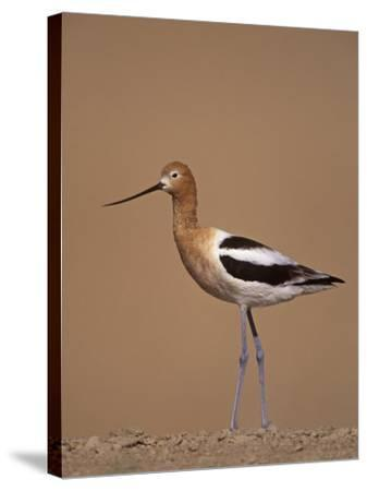 American Avocet Showing its Long Legs and Bill, Recurvirostra Americasna, USA-Arthur Morris-Stretched Canvas Print