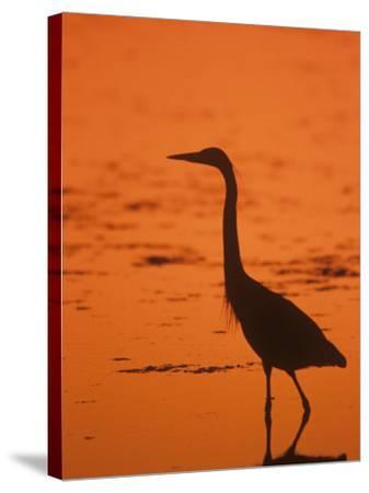 Great Blue Heron Silhouette at Twilight (Ardea Herodias), North America-John & Barbara Gerlach-Stretched Canvas Print