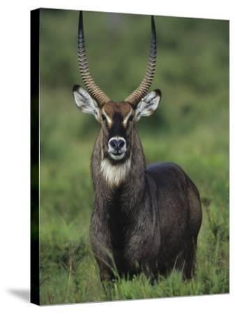 Defassa Waterbuck Head View, Kobus Ellipsiprymnus Defassa, Masai Mara, Kenya, Africa-Joe McDonald-Stretched Canvas Print