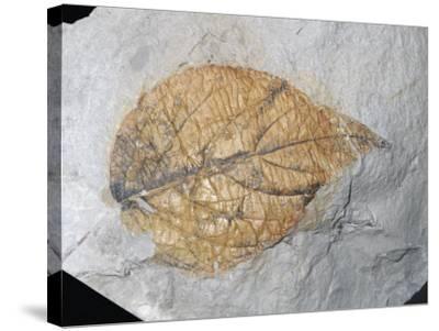Fossil Elm-Like Leaf (Eucommia Serrata), Palaeocene Epoch, 55-65 M.Y.A., Alberta, Canada-Ken Lucas-Stretched Canvas Print