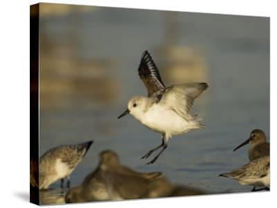 Sanderling, Calidris Alba, Landing in a Mixed Flock of Various Shorebirds, Florida USA-John Cornell-Stretched Canvas Print