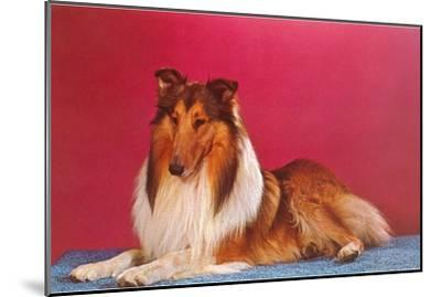 Collie--Mounted Art Print