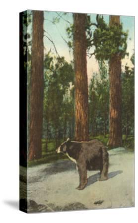 Bear, San Bernardino Mountains, California--Stretched Canvas Print