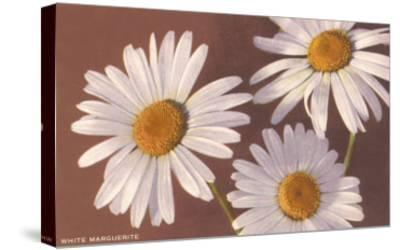 White Marguerite Daisies--Stretched Canvas Print