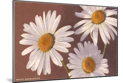 White Marguerite Daisies--Mounted Art Print