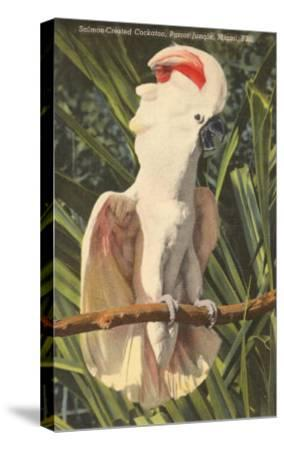 Salmon-Crested Cockatoo, Florida--Stretched Canvas Print