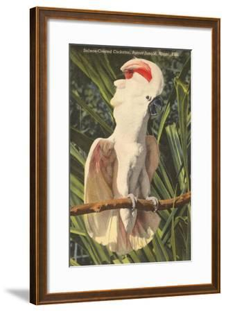 Salmon-Crested Cockatoo, Florida--Framed Art Print