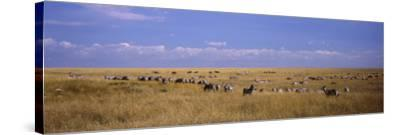 Zebra Migration, Masai Mara National Reserve, Kenya--Stretched Canvas Print
