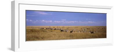 Zebra Migration, Masai Mara National Reserve, Kenya--Framed Photographic Print