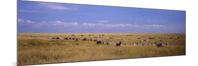 Zebra Migration, Masai Mara National Reserve, Kenya--Mounted Photographic Print