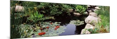 Water Lilies in a Pond, Sunken Garden, Olbrich Botanical Gardens, Madison, Wisconsin, USA--Mounted Photographic Print