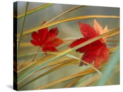 Two Fall Orange Fall Leaves Amid Yellow Reeds with Out of Focus Green Background--Stretched Canvas Print