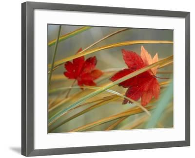 Two Fall Orange Fall Leaves Amid Yellow Reeds with Out of Focus Green Background--Framed Photographic Print