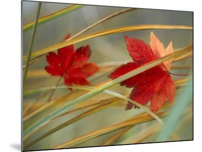 Two Fall Orange Fall Leaves Amid Yellow Reeds with Out of Focus Green Background--Mounted Photographic Print