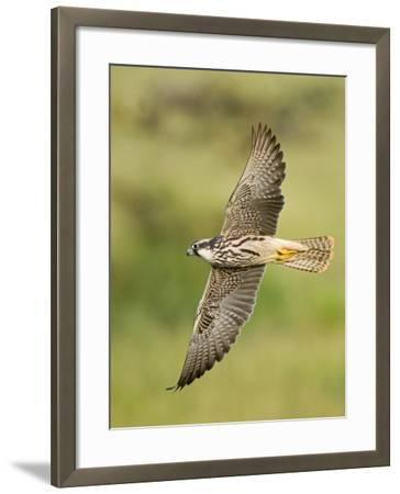 Close-up of a Lanner Falcon Flying, Lake Manyara, Arusha Region, Tanzania--Framed Photographic Print
