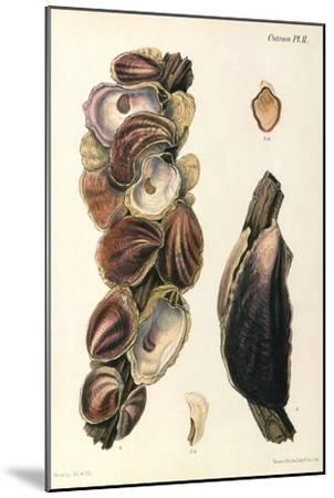 Oyster Shells, 1870--Mounted Giclee Print