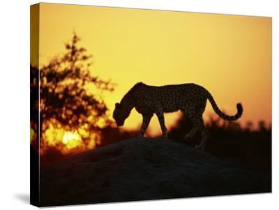 Cheetah, Okavango Delta, Botswana, Africa-Paul Allen-Stretched Canvas Print