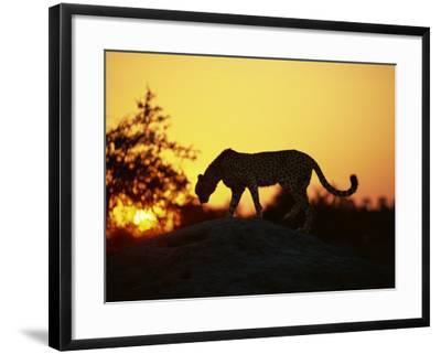 Cheetah, Okavango Delta, Botswana, Africa-Paul Allen-Framed Photographic Print