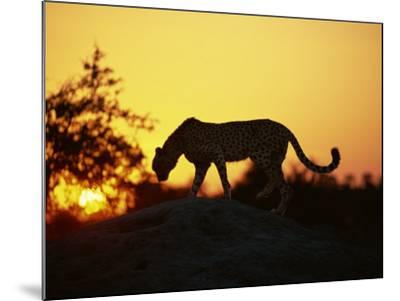 Cheetah, Okavango Delta, Botswana, Africa-Paul Allen-Mounted Photographic Print