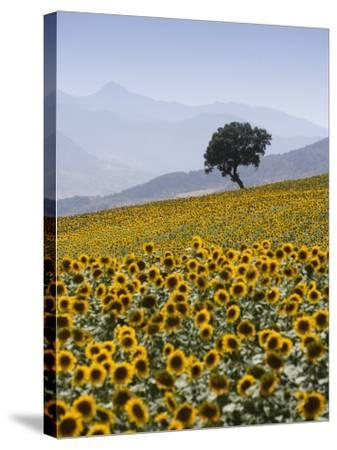 Sunflowers, Near Ronda, Andalucia, Spain, Europe-Mark Banks-Stretched Canvas Print