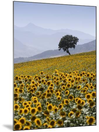 Sunflowers, Near Ronda, Andalucia, Spain, Europe-Mark Banks-Mounted Photographic Print