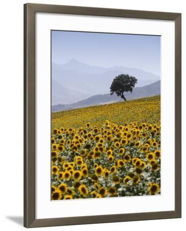 Sunflowers, Near Ronda, Andalucia, Spain, Europe-Mark Banks-Framed Photographic Print