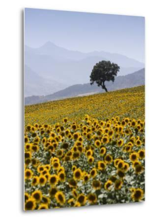 Sunflowers, Near Ronda, Andalucia, Spain, Europe-Mark Banks-Metal Print