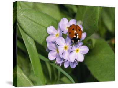 Seven Spot Ladybird on Forget-Me-Nots-Michael Black-Stretched Canvas Print