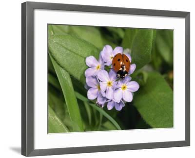 Seven Spot Ladybird on Forget-Me-Nots-Michael Black-Framed Photographic Print