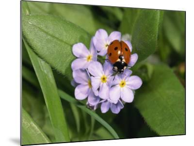 Seven Spot Ladybird on Forget-Me-Nots-Michael Black-Mounted Photographic Print