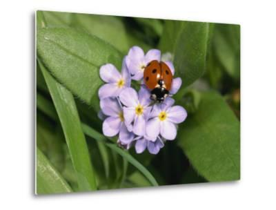 Seven Spot Ladybird on Forget-Me-Nots-Michael Black-Metal Print