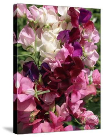 Bunch of Sweet Pea Flowers, Lathyrus Odoratus Old Fashioned Mixed Taken in August-Michael Black-Stretched Canvas Print
