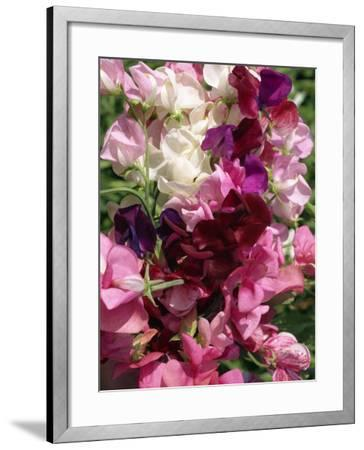Bunch of Sweet Pea Flowers, Lathyrus Odoratus Old Fashioned Mixed Taken in August-Michael Black-Framed Photographic Print