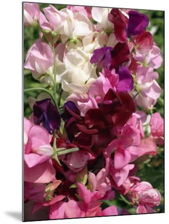 Bunch of Sweet Pea Flowers, Lathyrus Odoratus Old Fashioned Mixed Taken in August-Michael Black-Mounted Photographic Print
