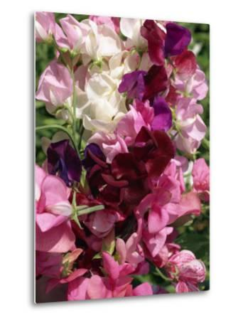 Bunch of Sweet Pea Flowers, Lathyrus Odoratus Old Fashioned Mixed Taken in August-Michael Black-Metal Print