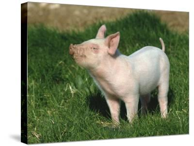 Pretty Little Piglet Posing for Camera-Michael Black-Stretched Canvas Print