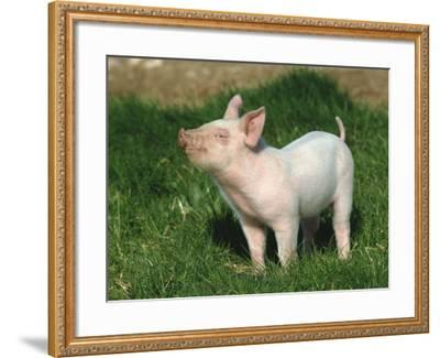 Pretty Little Piglet Posing for Camera-Michael Black-Framed Photographic Print