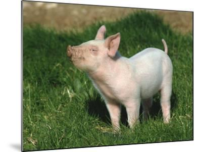 Pretty Little Piglet Posing for Camera-Michael Black-Mounted Photographic Print