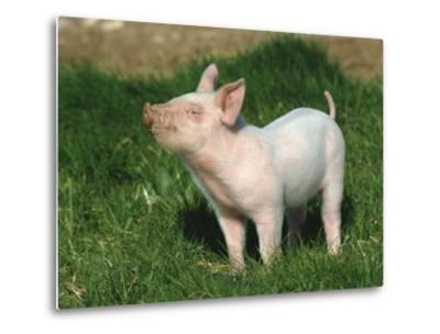 Pretty Little Piglet Posing for Camera-Michael Black-Metal Print