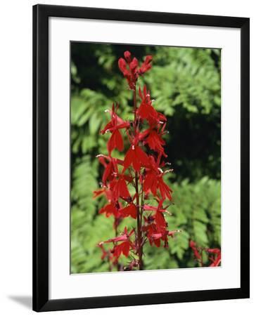 Red Flowers of Lobelia Cardinalis, Taken in August, in Devon, England-Michael Black-Framed Photographic Print
