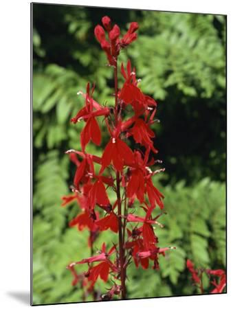 Red Flowers of Lobelia Cardinalis, Taken in August, in Devon, England-Michael Black-Mounted Photographic Print