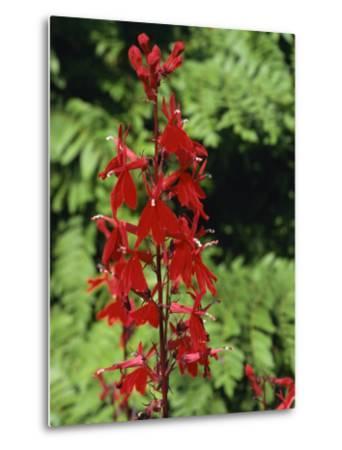 Red Flowers of Lobelia Cardinalis, Taken in August, in Devon, England-Michael Black-Metal Print