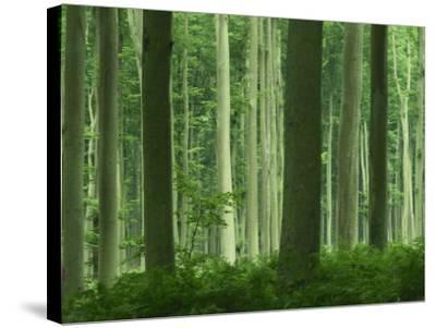 Tall Straight Trunks on Trees in Woodland in the Forest of Lyons, in Eure, Haute Normandie, France-Michael Busselle-Stretched Canvas Print