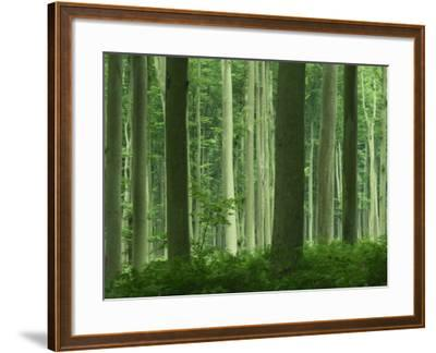 Tall Straight Trunks on Trees in Woodland in the Forest of Lyons, in Eure, Haute Normandie, France-Michael Busselle-Framed Photographic Print